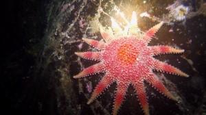 sunburst-starfish