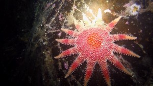 sunburst-starfish